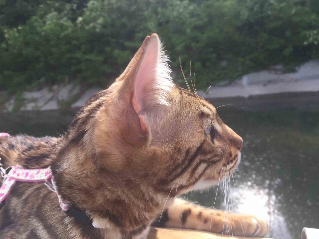 GensAurea wilndRose of Glamourouscats aka Rose